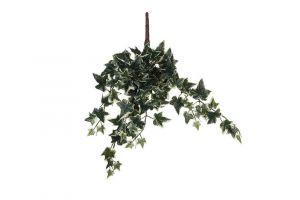 Dekorativna biljka IVY