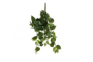 Dekorativna biljka POTHOS