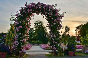 Luk Za Ruže APOLLO